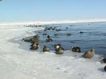 Eider Ducks on Polyana