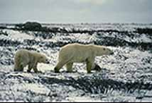 Polar Bears near Sanikiluaq